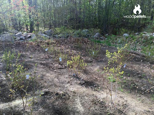 Wood Pellets as Organic Mulch for Blueberry Patch